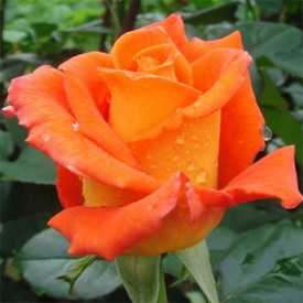 Роза Чайно-гибридная Monika