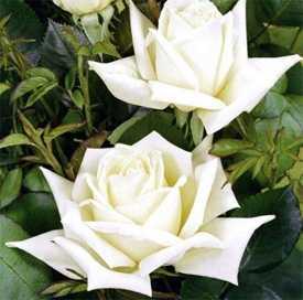 Роза Чайно-гибридная Polarstern
