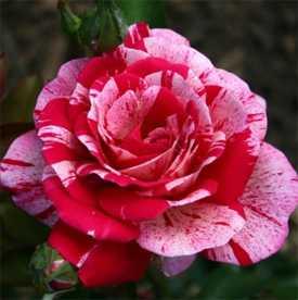 Роза чайно-гибридная Papa Geno