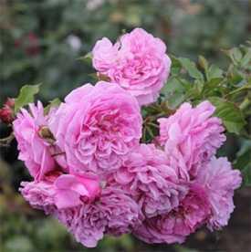 Роза Плетистая Lavender lassie
