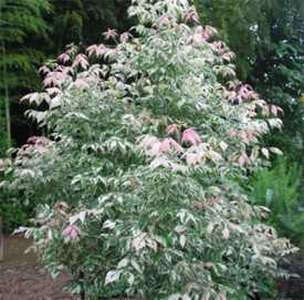 Клён ясенелистный Acer negundo Flamingo