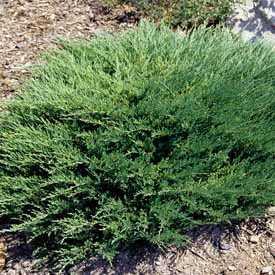 Можжевельник горизонтальный Андора Компакт С5 50-70 см