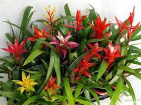 Бромелиевые растение для комнат