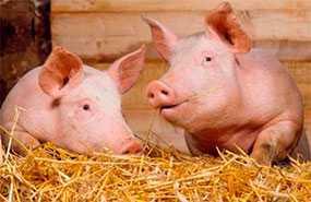 Комбикорм-концентрат для откорма свиней до жирных кондиций КК-55