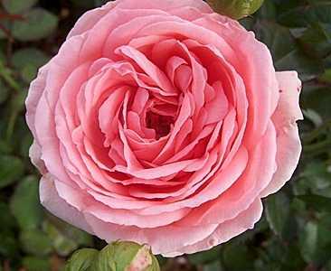 Роза Флорибунда Kimono