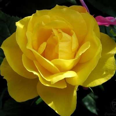 Роза Флорибунда Fresia