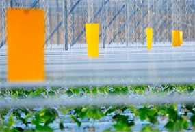 Ловушка клеевая желтая для белокрылки, лист 25x40 см