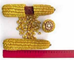 Семена кукурузы DuPont Pioneer ПР39Х32