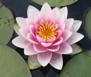 Нимфея Розовая средняя