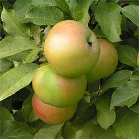 Саженцы яблони Вербное