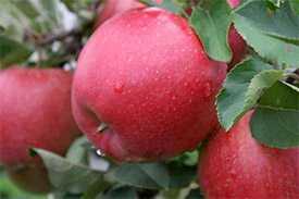 Саженцы яблони Хоней Крисп