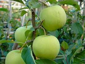 Саженцы яблони Коштеля