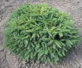 Ель обыкновенная (подушковидная) Picea abies Nidiformis
