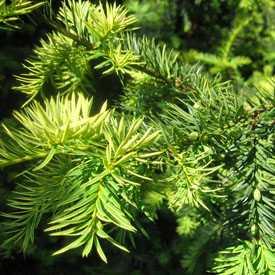Тисс ягодный золотистый Taxus baccata aurea