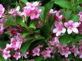 Вейгела цветущая Weigela florida