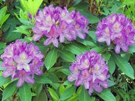 Рододендрон понтийский Rhododendron ponticum