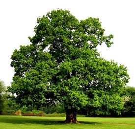 Дуб черешчатый Quercus robur