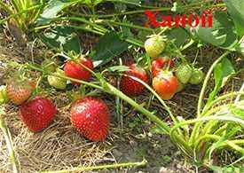 Рассада земляники садовой (клубники) сорта Ханое