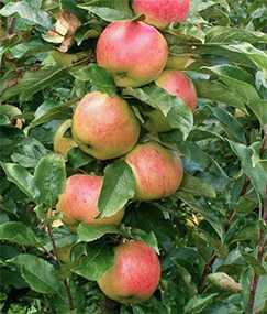 Саженцы яблони коллоновидной Валюта