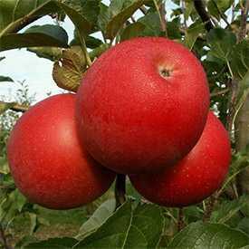 Саженцы яблони Лучезарное