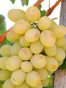 Виноград зеленый Виктория (Италия)