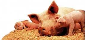 Комбикорм СК-1 для свиноматок холостых и супоросных - ГЛУБОКСКИЙ КОМБИКОРМОВЫЙ ЗАВОД (Беларусь)