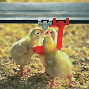 Комбикорм ПК-2-2 для ремонтного молодняка кур яичных кроссов - ГЛУБОКСКИЙ КОМБИКОРМОВЫЙ ЗАВОД (Беларусь)