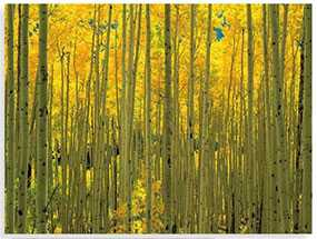 Декор (фотография) на закаленном стекле Aspens in White River Park Colorado, 60*80 см, INNOVA (Китай)