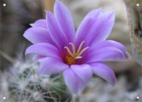 Декор (фотография) на закаленном стекле Lilac Desert Flower, 70*90 см, INNOVA (Китай)