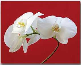 Декор (фотография) на холсте White Lilly, 70*90 см, INNOVA (Китай)