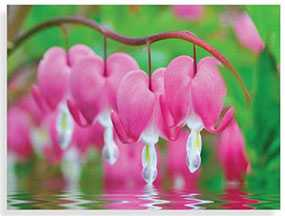 Декор (фотография) на закаленном стекле Bleeding Hearts Flowers, 60*80 см, INNOVA (Китай)