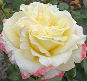 Роза Афина (чайно-гибридная), 1 шт. - АПД