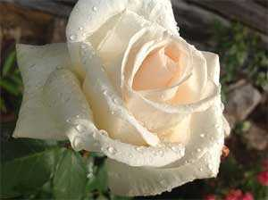 Роза Гранд Могул (чайно-гибридная), 1 шт. - АПД