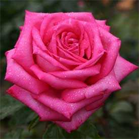 Роза Дуфтрауш (чайно-гибридная), 1 шт. - АПД