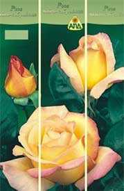 Роза Мадам Мейан (чайно-гибридная), 1 шт. - АПД