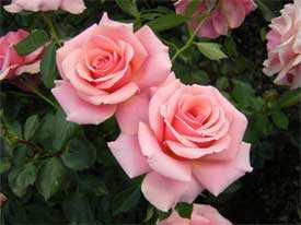 Роза Пророк (плетистая), 1 шт. - АПД