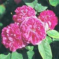 Роза Роуз де Рес (парковая), 1 шт. - АПД