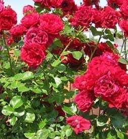 Роза Сантана (плетистая), 1 шт. - АПД