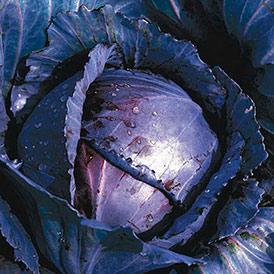 Семена краснокочанная капуста Родима