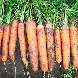 Семена морковь Фидра