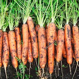 Семена морковь Морелия