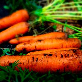 Семена морковь Монанта