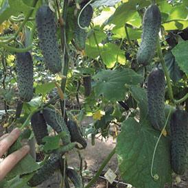 Семена огурцы Корнишон Ленара