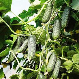 Семена огурцы Корнишон Кибрия