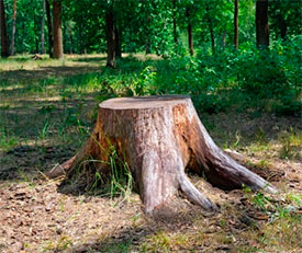 Корчи (пни) древесные