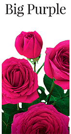 Саженцы роз Биг Пурпл