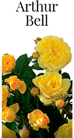 Саженцы роз Артур Белл