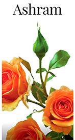 Саженцы роз Ашрам