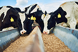 Комбикорм КК-60 для кормления дойных коров - СМОРГОНСКИЙ КОМБИНАТ ХЛЕБОПРОДУКТОВ