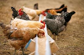Полноценный комбикорм для кормления молодняка ПК-2-2. кур в возрасте 5–10 недель - СМОРГОНСКИЙ КОМБИНАТ ХЛЕБОПРОДУКТОВ